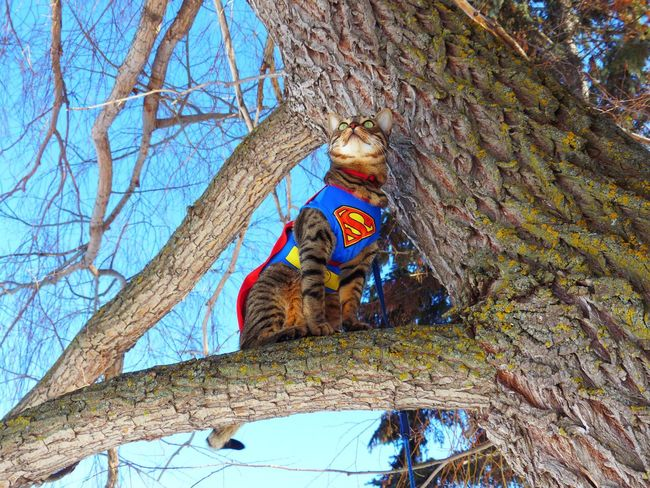 SuperCat in Tree Cat Youtuber Squirellwatcher Superhero Cape  Super SuperCat Edmonton Hawrelak Park Yeg CrazyFunnyCats Lookingup Uphigh Bluesky Panasonic  Feline Tree Tree Trunk Branch Bare Tree Low Angle View No People Nature Outdoors Mammal Sky