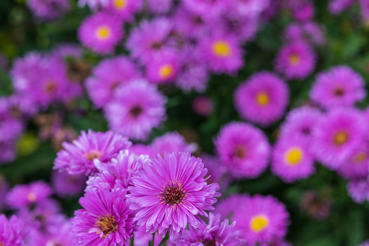 colourful crowd field of purple cutter flowers. Beauty In Nature Blooming Close-up Day Flower Flower Head Focus On Foreground Fragility Freshness Growth Nature No People Outdoors Petal Pink Color Plant Purple Purple Flower Purple Flowers Purple Flowers Field Springtime