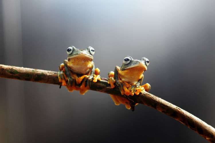 Wallace's flying frog, tree frog on a branch Animal Animal Themes Close-up No People Frog Animal Wildlife Focus On Foreground One Animal Day Animals In The Wild Animal Body Part Amphibian Nature Vertebrate Outdoors Animal Head  Metal Branch Animal Eye