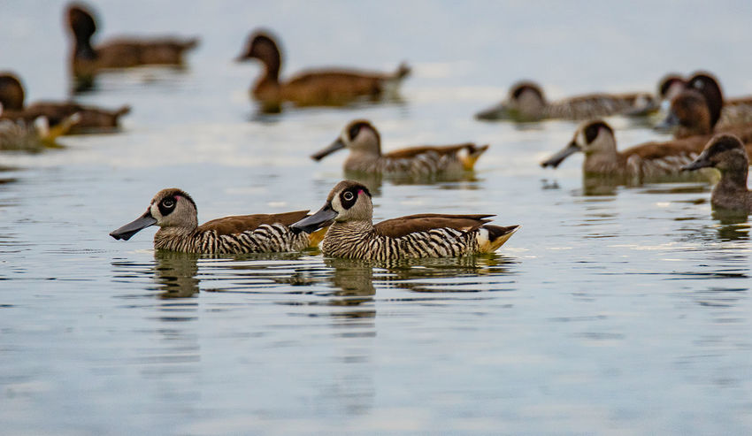 Pink-eared duck (Malacorhynchus membranaceus Anatidae) Animals In The Wild Animal Themes Group Of Animals Water Animal Animal Wildlife Bird Vertebrate Lake Swimming Waterfront Nature No People Water Bird Day Selective Focus Beauty In Nature Goose Duck Gosling Flock Of Birds