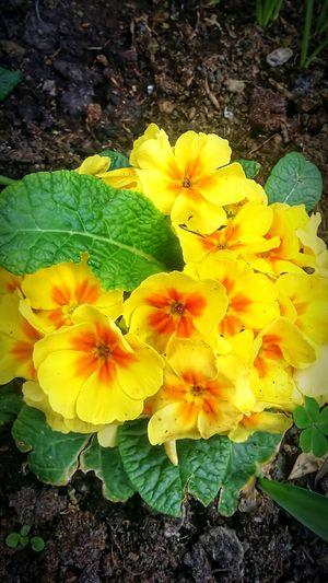 Fiori Yellow