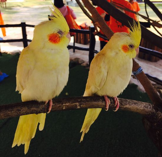 Neture Love Twins Bird Vertebrate Animal Perching Animal Themes Animal Wildlife Parrot Animals In The Wild Group Of Animals No People Two Animals Branch Focus On Foreground Nature Outdoors Animals In Captivity Yellow Day Close-up Parakeet