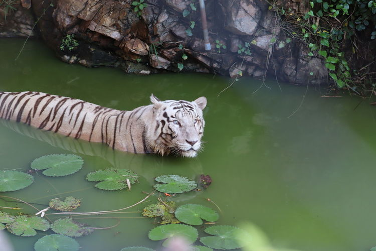 High angle view of a white tiger