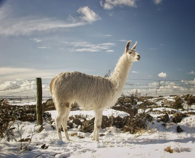 Llama in the Snow (Anglesey) Llama Snow Animals Pets Anglesey Walking Around EyeEm Nature Lover