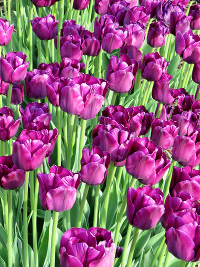 Field of purple tulips blooming in spring Beauty In Nature Botany Bunch Of Flowers Close-up Day Flower Flower Arrangement Flower Head Flowerbed Flowering Plant Fragility Freshness Full Frame Growth Inflorescence Nature No People Outdoors Petal Pink Color Plant Purple Springtime Tulip Vulnerability