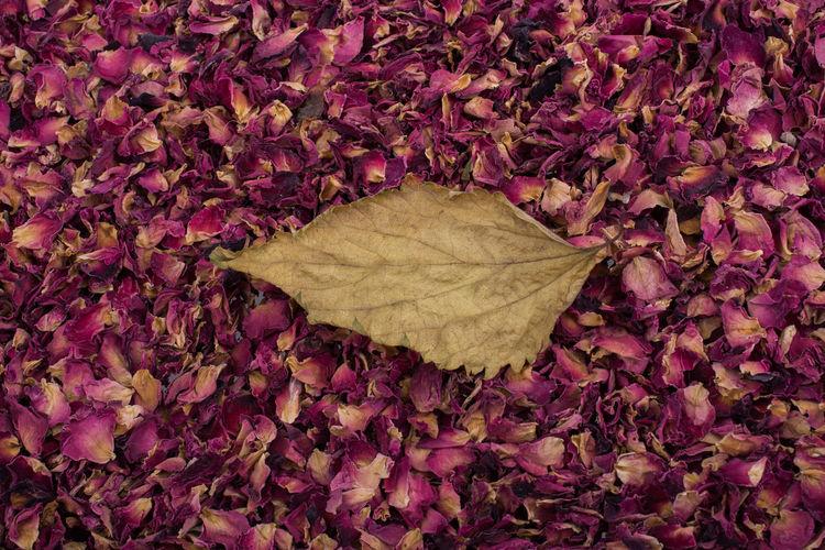 Close-up of dry leaf on rose petals