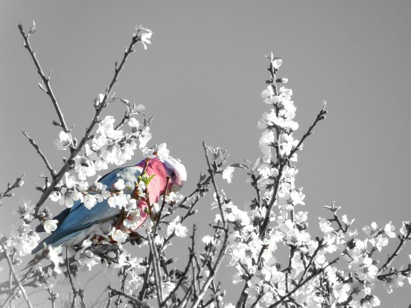 Galah eating almond blossoms ... Blooming Almond Blossom Birds Galah Nature Flower Beauty In Nature Sky Tree Freshness Eating Black And White Coulorsplash Black And White Photography Pink Pink And Grey In My Garden Australian Birds