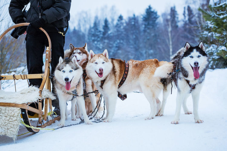 Dogs sled in winter day