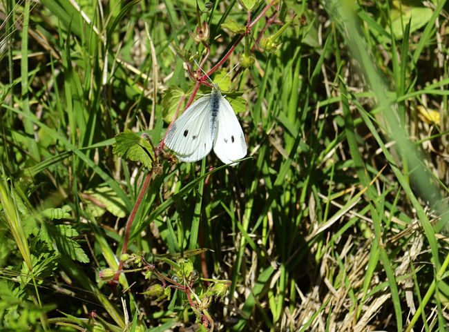 Beauty In Nature Blanquita De La Col Butterflies Butterfly Butterfly - Insect Butterfly ❤ Eruga Fragility Insect Insect Photo Insect Photography Insects  Lepidópteros Pieris Rapae