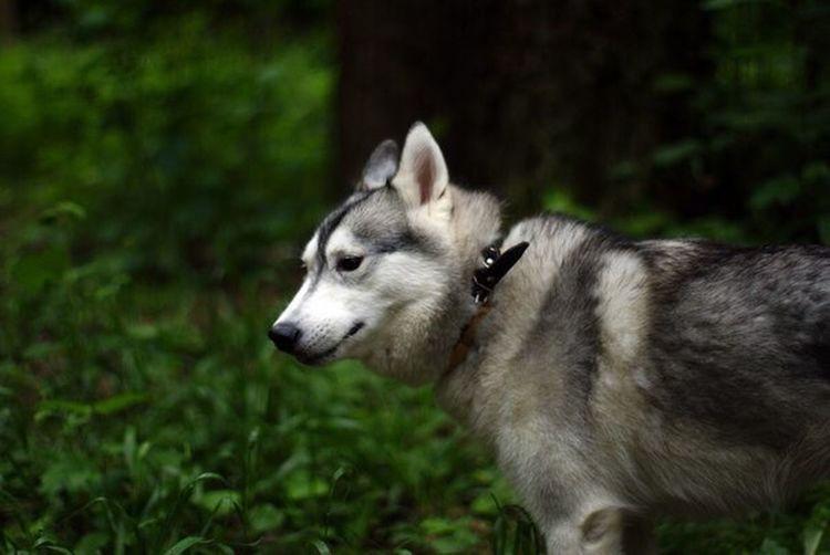 Husky Siberian Husky Huskies