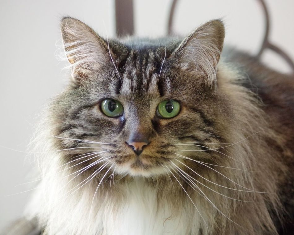 Maine Coon Cat Domestic Cat Domestic Animals Pets Animal Themes Looking At Camera One Animal Mammal Portrait Whisker Feline Close-up No People Indoors  Day
