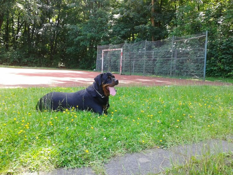 FREYA♡ Beauty In Nature Rottweiler auf Sportplatz Hanging Out Enjoying Life EyeEm Dog Lover Dog❤ Life With Dogs Dogs Of EyeEm In Germany