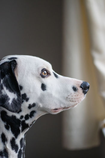 Close-Up Of Dalmatian Dog
