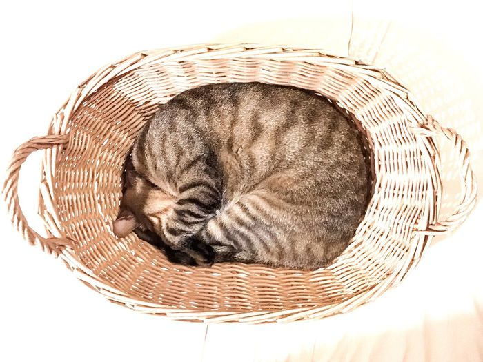 Cat Domestic Cat Basket Pets Sleeping