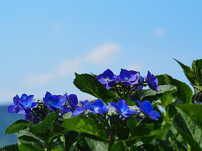 Flower Blue Nature Beauty In Nature Purple Plant Growth Freshness Fragility Flower Head Clear Sky Sky Hydrangea Hydrangea Festival Ajisai 紫陽花 Blue Flowers Blue Sky Scenics Landscape Kanagawa,japan 紫陽花まつり Odawara Olympus Om-d E-m10