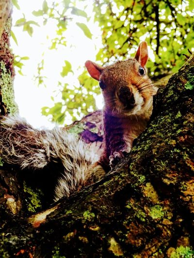 One Animal Tree Portrait Mammal Animal Wildlife Outdoors Animal Themes Looking At Camera Forest No People Nature Animals In The Wild Love Nature🌲 Beautiful Squirrel Fluffy Play Animal_collection England In Autumn
