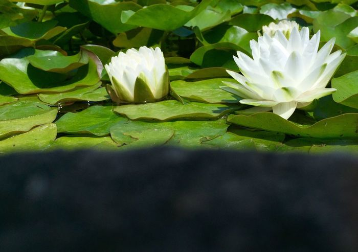 Flower Petal Leaf Nature Beauty In Nature Freshness Flower Head Growth Fragility Plant Water Lily Day From My Point Of View Nenuphar Nenufares EyeEm Nature Lover Outdoors EyeEm Gallery Water Plants Nature Close-up Lake Lotus Water Lily Water Blooming