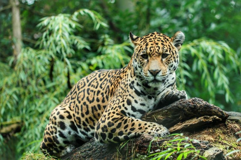 Jaguar Lying On Wood In Forest