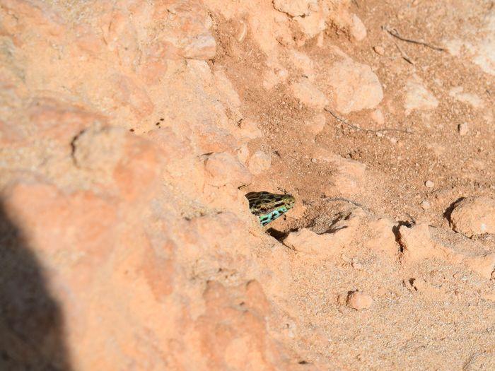 High angle view of ibiza wall lizard on field