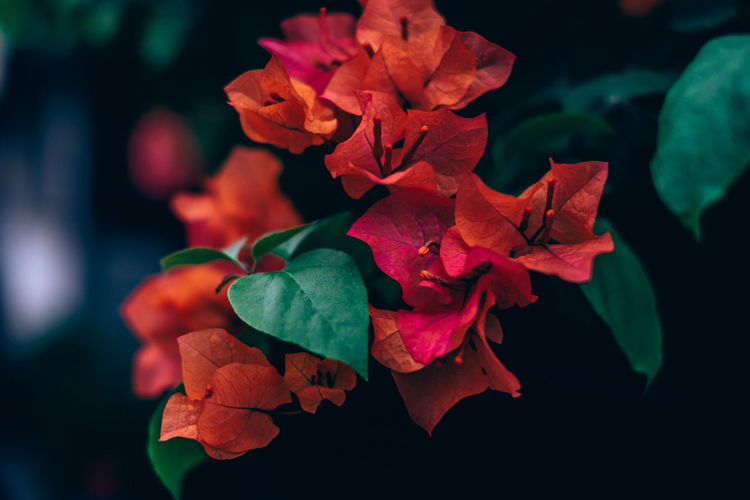 bougainvillea Plant Beauty In Nature Vulnerability  Flowering Plant Close-up Flower Fragility Freshness Petal Leaf Growth Plant Part Inflorescence Flower Head Focus On Foreground Nature No People Outdoors Day Selective Focus Backgrounds Bougainvillea Orange Color Green Color Copy Space Springtime Decadence