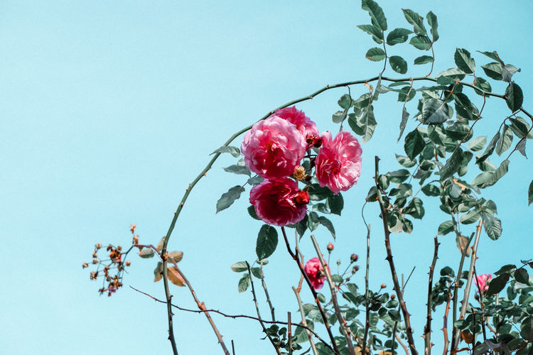 Low angle view of red rose on branch against sky
