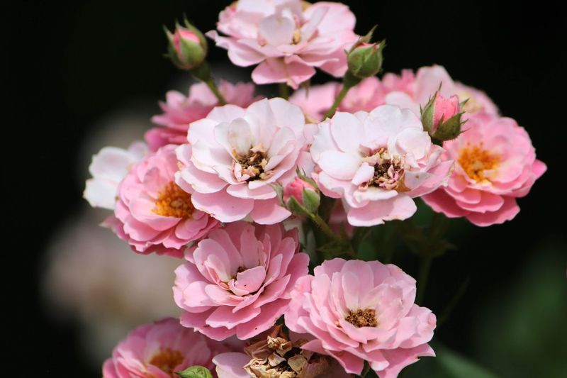 Flower Flowering Plant Pink Color Fragility Plant Vulnerability  Beauty In Nature Freshness Petal Close-up Inflorescence Flower Head Nature