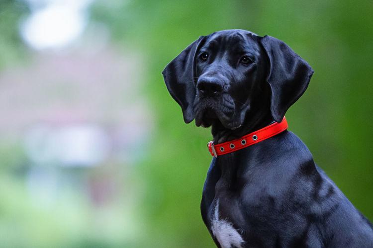 Close-up portrait of a great dane puppy
