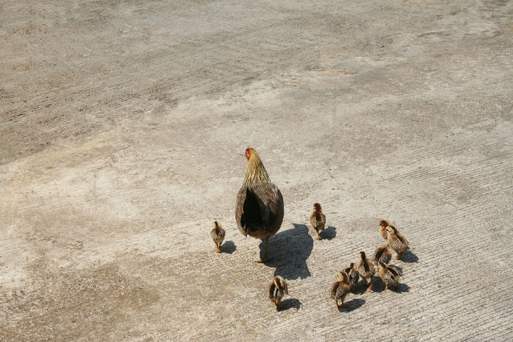 Hen with nine small chicks walking Nine Many Lots Of Dark Light Black Brown Concrete Floor Freedom Green Concept Grass Closeup Natural Nurture  Fluff Beak Fluffy Shell Protection Pet Parent Grow Agriculture Group Nature Cute Yellow Easter Small Background Free Feather  Animals Bird Young Chickens White Funny Farm Family Animal Baby Mother Chick Chicks Chicken Hen Poultry