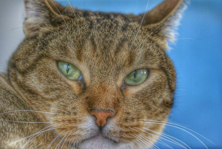 Tijger the Cat