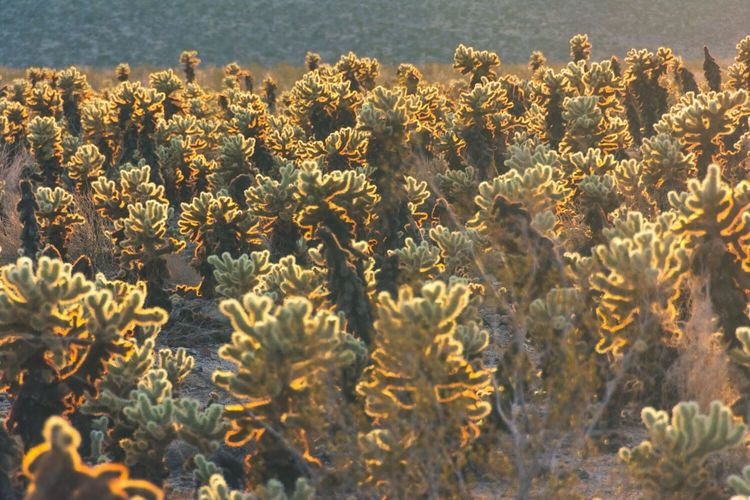 Cholla plants in Joshua Tree National Park. Nature Beauty In Nature Growth Flower No People Plant Sunlight Outdoors Close-up Freshness Fragility Day Flower Head Cactus Garden Finding New Frontiers
