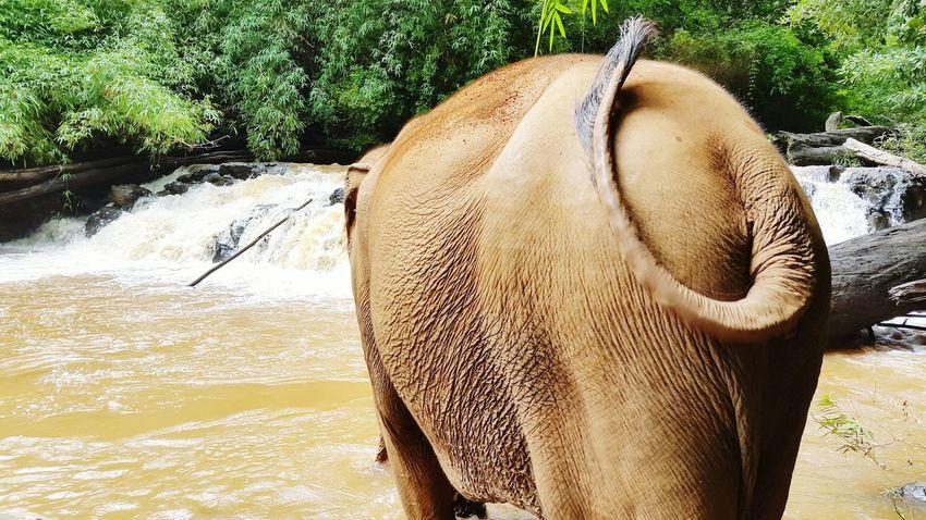 Elephant Fanta Arse Bum Backside Portrait Backside Rapids Bathtime Tail In The Wild Freedom