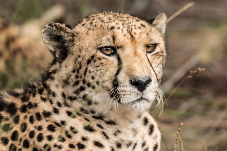 Animal Animal Themes Mammal Animal Wildlife Big Cat Feline Animals In The Wild One Animal Cheetah Cat Spotted No People Safari Animal Head  Undomesticated Cat Wildlife Photography
