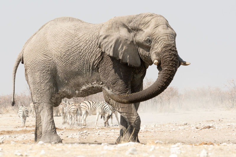Side view of elephant in zoo