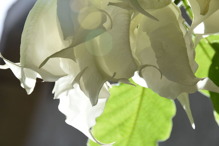 Backlit Beauty In Nature Beauty In Nature Close-up Day Delicate Fragility Freshness Growth Leaf Nature No People Outdoors Plant Shredded Angel's Trumpet Transparent Petals White Flower