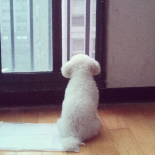 It's rainning lonely day today.Bichon Dog Bichonfrise