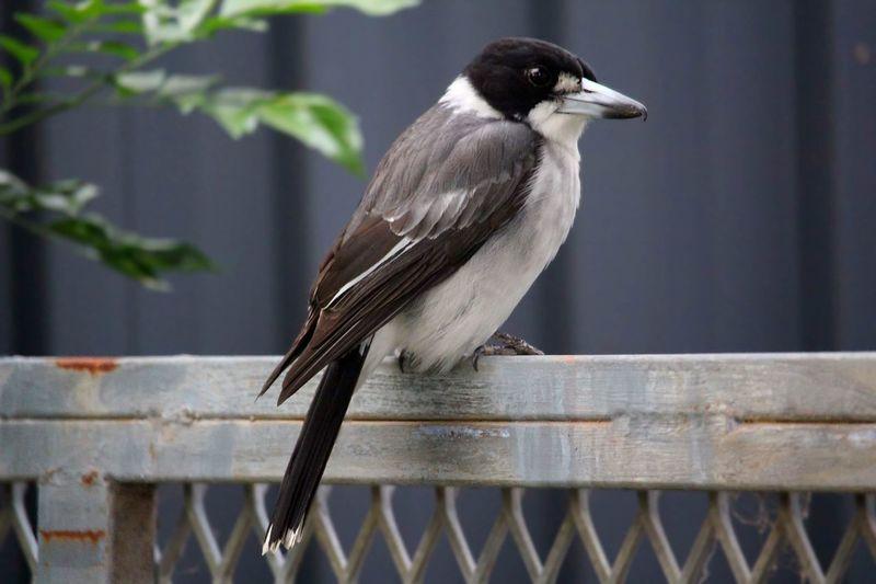 A beautiful Grey Butcherbird . 😊 Bird Birds Bird Photography Birds Of EyeEm