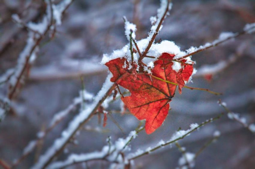 Wintertime Close-up Nature Branch Autumn Focus On Foreground Outdoors Red Change Leaf No People Day Beauty In Nature Winter Cold Temperature Fruit Tree Germany🇩🇪 Have A Nice Day♥ My Picture 2017 400mm Lens Tree Nature Snow Schnee