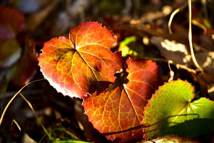 Leafs Leaf 🍂