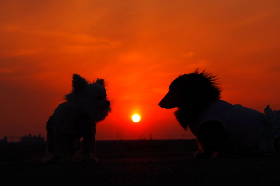 Dogs Of EyeEm Dog Dachshund Minituredachshund 愛犬 横顔 Dog Walking お散歩 チワワ Chihuahua シルエット 夕日 Sunset 夕暮れ