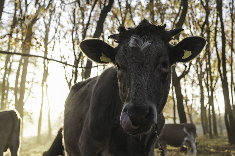Portrait of a cow -head of a cow -close up