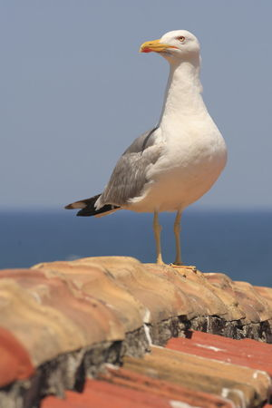 Adapted To The City Seagull On The Rooftop Staring At Me Bird One Animal Animal Themes Nature Perching Animals Stare At Angry Birds Birds Animal Theme Keep Your Eyes Open Pay Attention Paying Attention Observing Staring Stare White Bird Keep An Eye On Keeping An Eye Sentinel