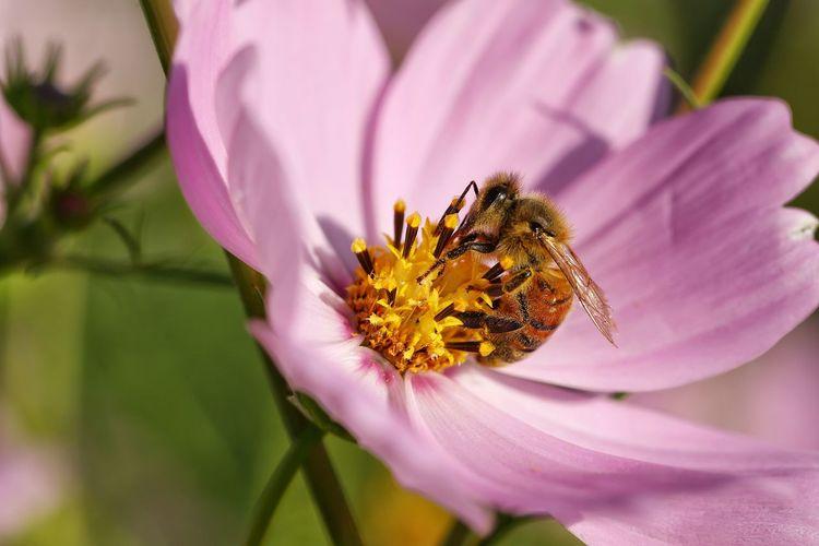 따뜻한 가을빛 하늘거리는 코스모스 그리고 열일하는 바쁜 꿀벌 . . #하루한컷 #코스모스 #가을 #꿀벌 #벌 #5DMARK4 #백마엘 #EF100MMF28LMACROISUSM Flower Head Flower Perching Petal Insect Uncultivated Purple Pink Color Butterfly - Insect Parallel