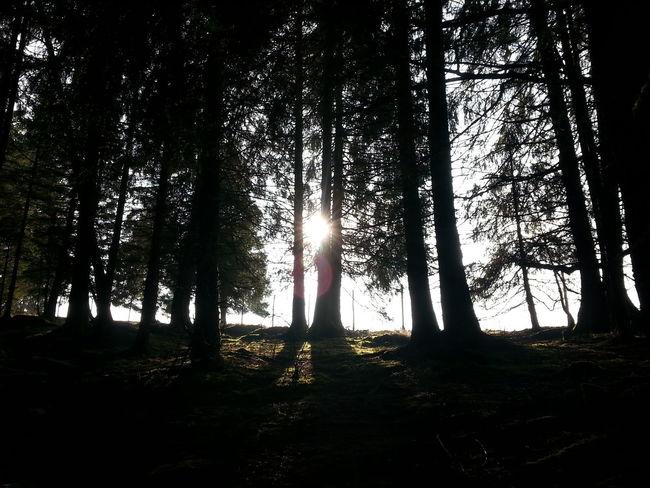 woods, trees, sun