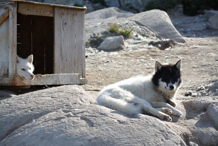 Ilulissat, Greenland - July, chained sled dog / husky in summer | two sledge dogs / huskies and dog house Dog Love Husky Sled Dog Greenland Animal Working Animal Dog Summer Outdoors Scenery Tradition Day Sun Fleecy Fluffy Dogs Dogslife Animal Themes Dog House No People Domestic Animals Mammal Two Animals Canine Nature