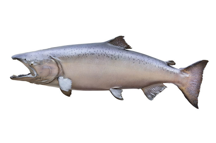 Chinook Fins Fish Freshwater Isolated On White King Salmon White Background