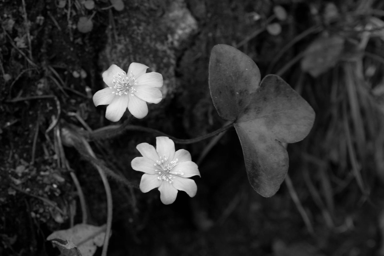 flower, petal, growth, nature, beauty in nature, flower head, fragility, blooming, freshness, plant, no people, focus on foreground, close-up, outdoors, day, leaf, periwinkle