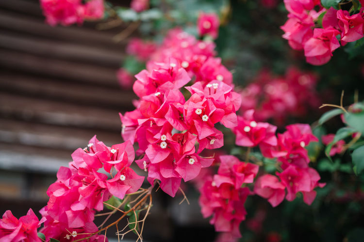 Bougainvillea Beauty In Nature Blooming Bougainvillea Close-up Flower Flower Head Flower Porn Fragility Freshness Growth Nature No People Outdoors Petal Pink Color Plant