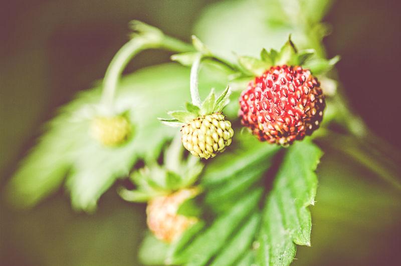 Close-up of fresh wild strawberries