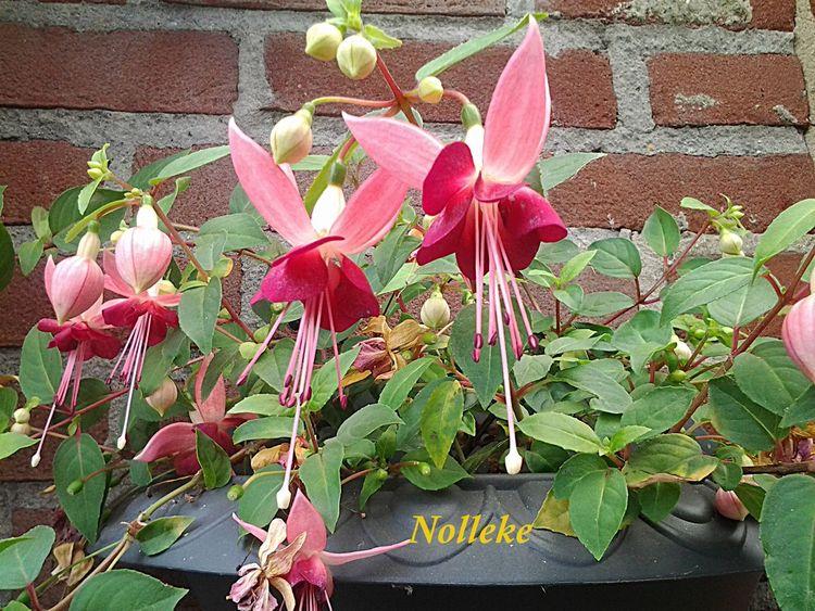 Streamzoofamily Flowerforfriends Floralperfection Noedit # fuchsia #beautiful # happy weekend