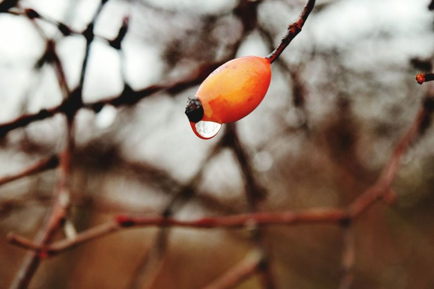 Focus On Foreground Nature Close-up Winter Outdoors Cold Temperature Fruit Beauty In Nature Wintertime Freshness Rowanberry Hagebutten January 2017 Winter 2017 It Is Cold Outside Bokeh Red Take A Walk Winter Beauty In Nature